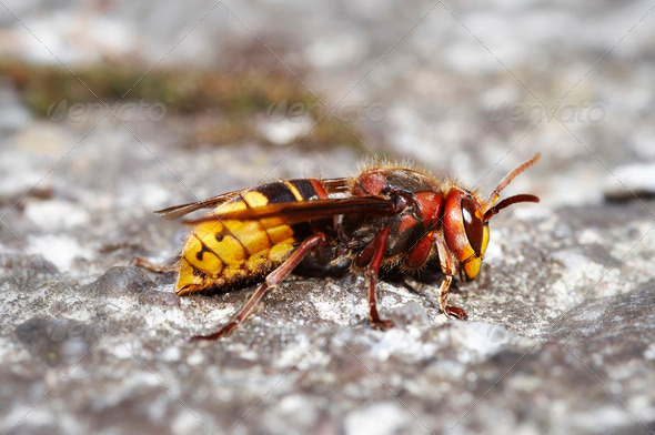 giant hornet - Stock Photo - Images
