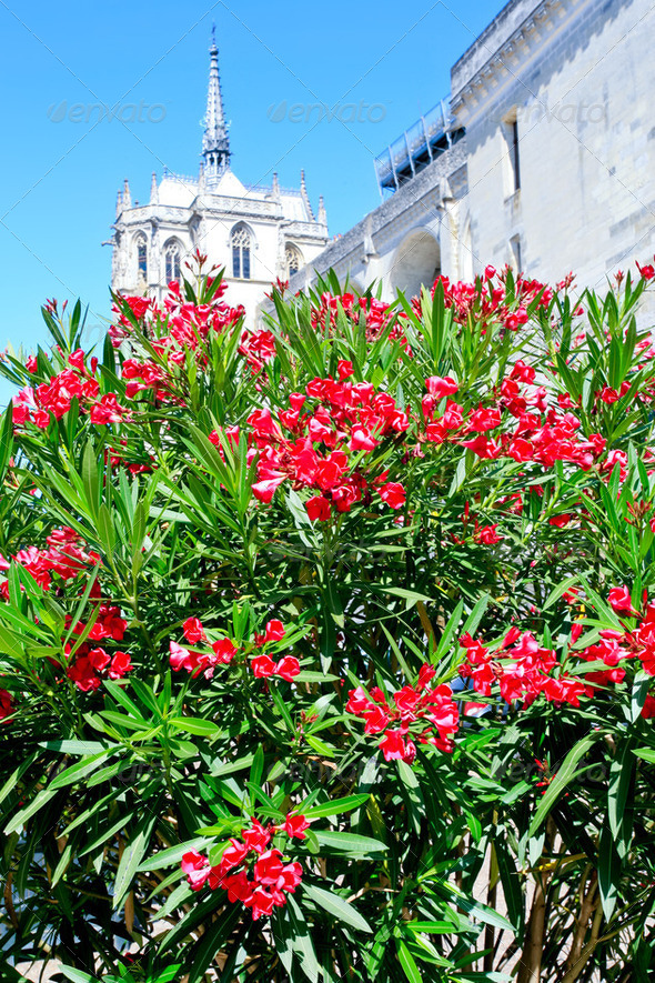 Oleander tree and palace on background - Stock Photo - Images