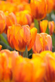 Orange tulips - PhotoDune Item for Sale