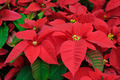 Red poinsettia flowers closeup - PhotoDune Item for Sale