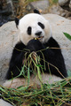Giant panda - PhotoDune Item for Sale