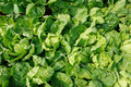 Chinese cabbage - PhotoDune Item for Sale
