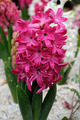 Pink hyacinth - PhotoDune Item for Sale