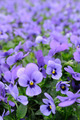 Violet pansy - PhotoDune Item for Sale