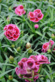 Beautiful carnation flowers - PhotoDune Item for Sale