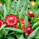 Red helichrysum  bracteatum - PhotoDune Item for Sale