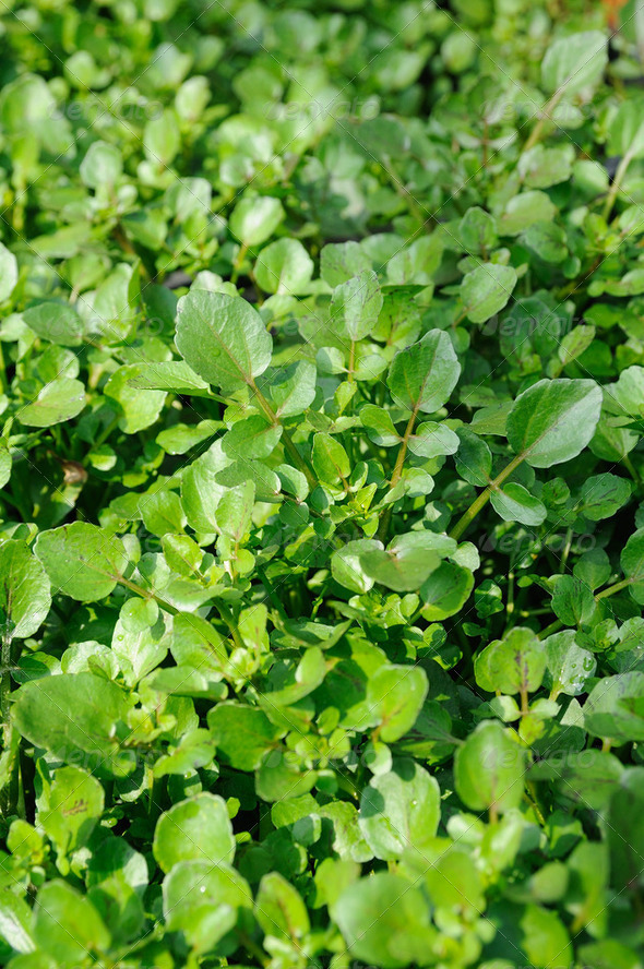 Water cress - Stock Photo - Images