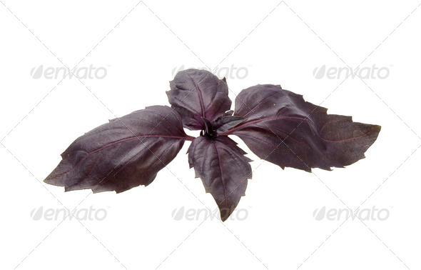 Purple basil - Stock Photo - Images