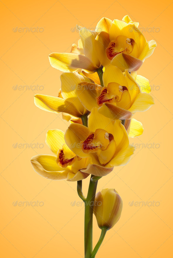 Fresh bright yellow orchid - Stock Photo - Images