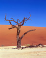Died Tree In Sand Desert - PhotoDune Item for Sale