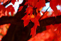 Sugar Maple Leaves - PhotoDune Item for Sale