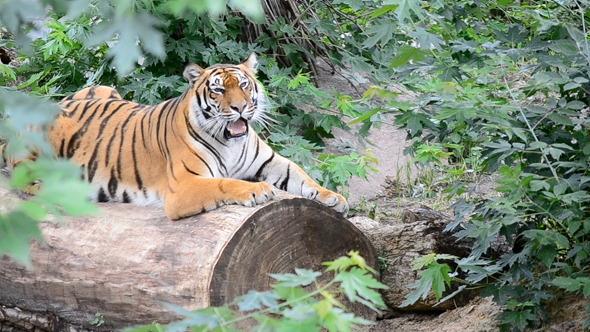 VideoHive Tiger 3379366