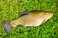 big tench after summer fishing on grass - PhotoDune Item for Sale