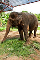 Asian elephant training in the camp - PhotoDune Item for Sale