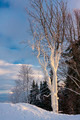 Frosted Tree - PhotoDune Item for Sale