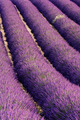 Rows of lavender - PhotoDune Item for Sale