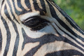 close-up portrait of a zebra - PhotoDune Item for Sale
