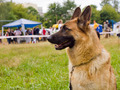 dog German shepherd breed - PhotoDune Item for Sale