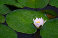 Water lily. - PhotoDune Item for Sale