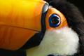 Toucan close up - PhotoDune Item for Sale