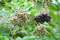 Ripe elderberries - PhotoDune Item for Sale