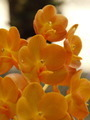 Orange Orchid - PhotoDune Item for Sale