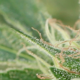 Cannabis Pan Right - VideoHive Item for Sale