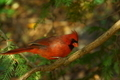 Red Cardinal - PhotoDune Item for Sale
