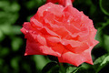 rose in  garden - PhotoDune Item for Sale