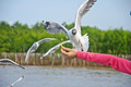 The white seagull flying in the sky taking food from hand - PhotoDune Item for Sale