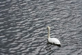 Swan Swimming in the Lake - PhotoDune Item for Sale