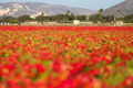 Flower Field - PhotoDune Item for Sale