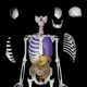 Human Anatomy - Skeleton With Organs  - 3DOcean Item for Sale