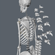 Professional Anatomy Skeleton - 3DOcean Item for Sale