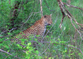 Hunting leopard in deep forest - PhotoDune Item for Sale