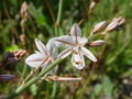 Star Flowers Starting To Bloom - PhotoDune Item for Sale