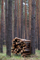 Stack of firewood in pine forest - PhotoDune Item for Sale