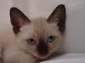 Siamese Cat - PhotoDune Item for Sale