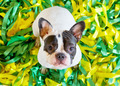 French Bulldog on the colorful strips - PhotoDune Item for Sale