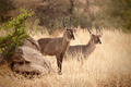 Defassa Waterbuck - PhotoDune Item for Sale
