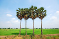 Palm in Countryside of Thailand - PhotoDune Item for Sale