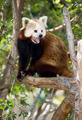 Red Panda Tree Outdoor Animal Wildlife - PhotoDune Item for Sale
