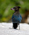 Steller's Jay - PhotoDune Item for Sale