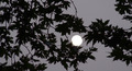 Moon Behind Leaves - PhotoDune Item for Sale