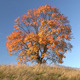 Oak Tree In Autumn - VideoHive Item for Sale