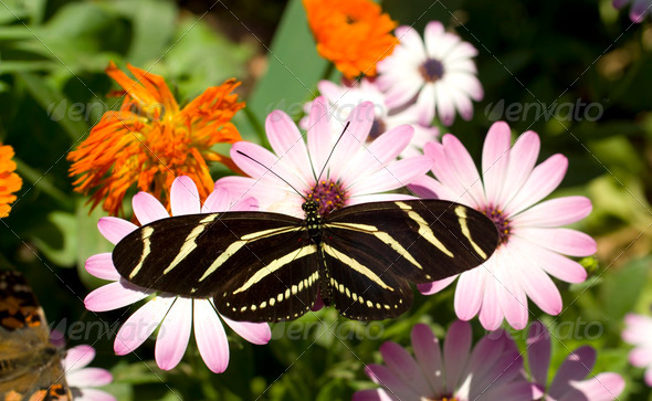 Zebra Longwing Butterfly - Stock Photo - Images