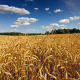 Wheat Field Time Lapse 4k - VideoHive Item for Sale