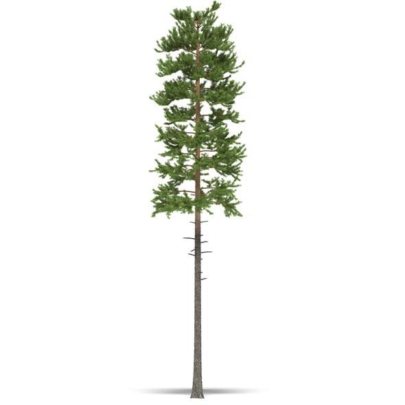 3DOcean Pine 3541958