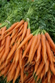 Carrots with green stalks and roots. - PhotoDune Item for Sale