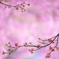 Cherry blossoms on pink background - PhotoDune Item for Sale